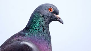 一只鸽子在浅色的背景下摆姿势。