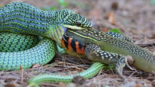 一条金黄树蛇(Chrysopelea ornata)正在吃蝴蝶蜥蜴(Leiolepis belliana)。
