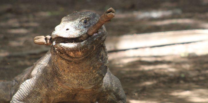 科莫多巨蜥吃很多!