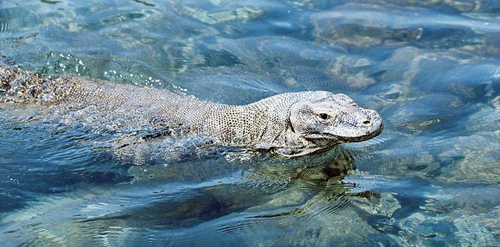 科莫多巨龙游泳