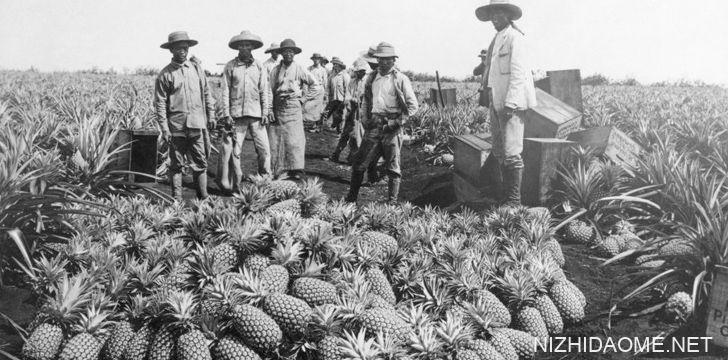 菠萝-最昂贵的水果