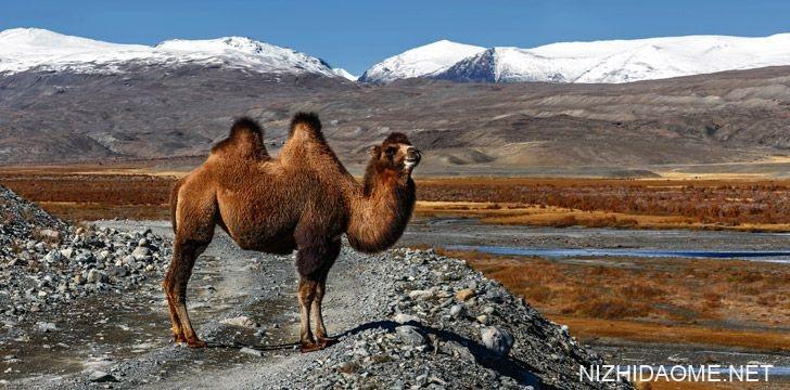 为什么骆驼有驼峰?