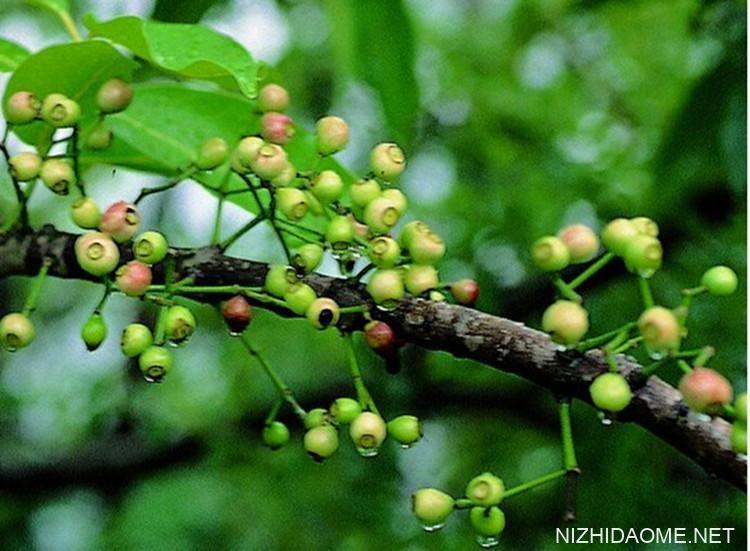 水翁花泡水喝的功效 水翁花可以经常饮吗