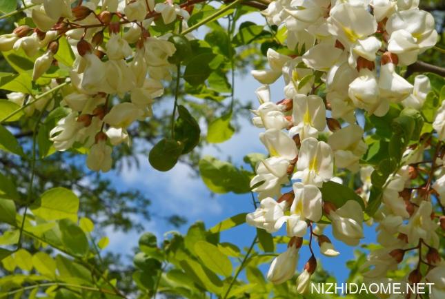 洋槐花怎么吃?洋槐花的二十种吃法
