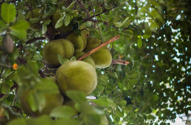 菠萝蜜核能吃不能吃 菠萝蜜核的吃法做法