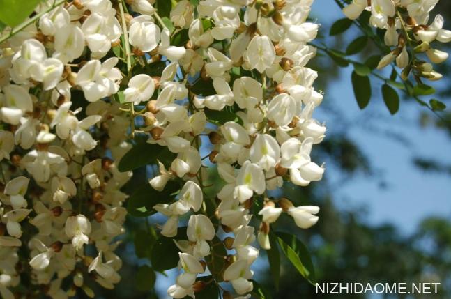 洋槐花的功效与作用 洋槐花的营养价值