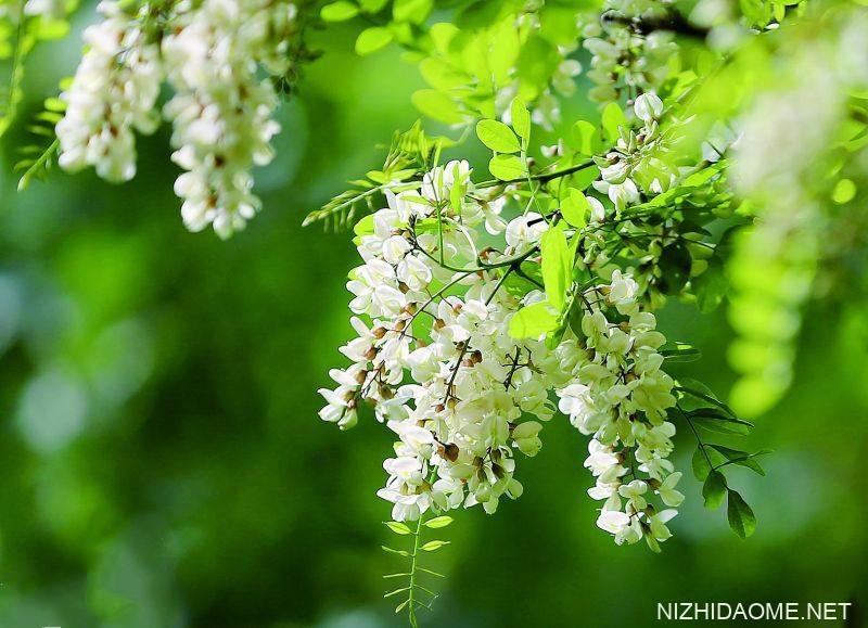 洋槐花几月份开花 洋槐花什么时候开花