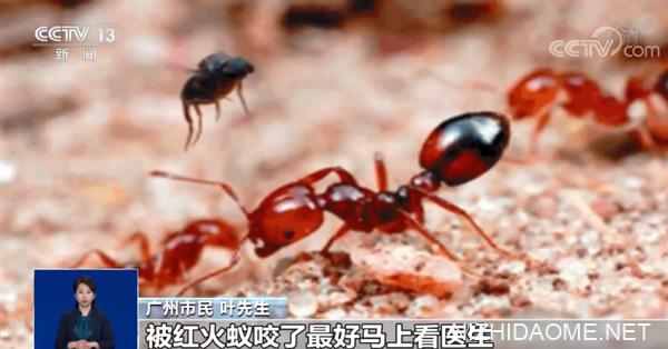 注意了 全球最危险的入侵物种红火蚁传播至12省435县市区