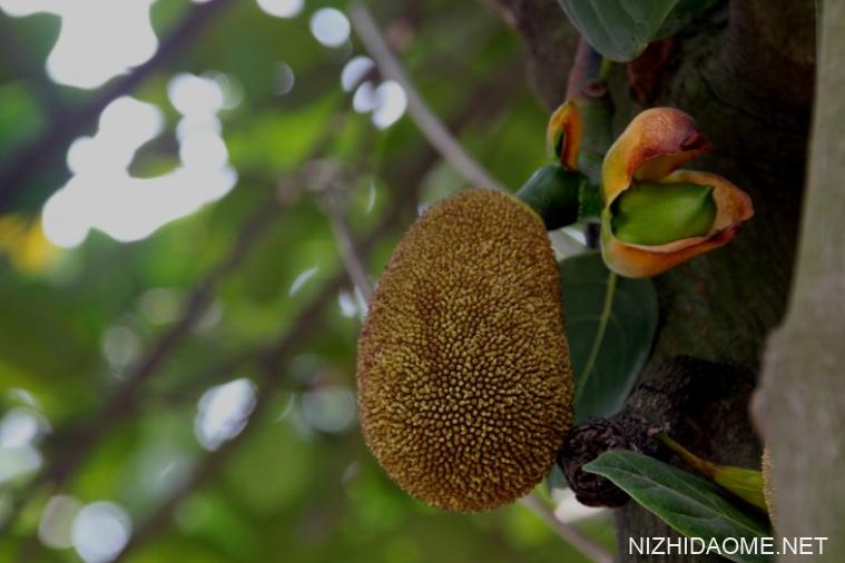 菠萝蜜籽的功效与营养价值 菠萝蜜籽有什么营养