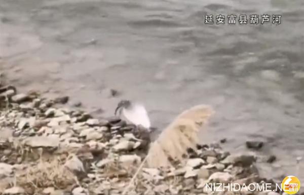 全球最北:陕西延安首次发现濒危鸟类朱鹮