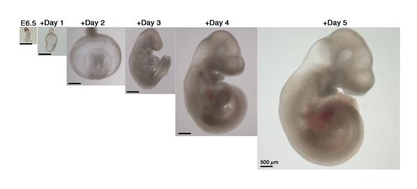 人造子宫首次应用!成功实现了小鼠胚胎体外存活