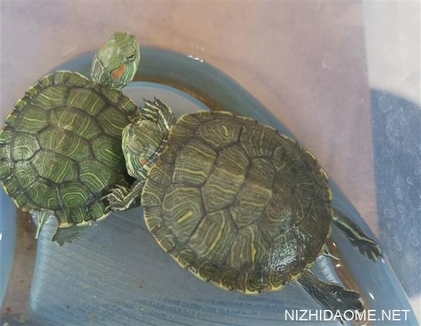 沙门氏菌感染爆发已致人死亡:美国CDC提醒不要亲吻宠物龟