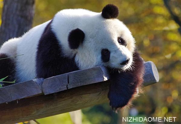 日本出生大熊猫香香回国再延期:受新冠疫情影响