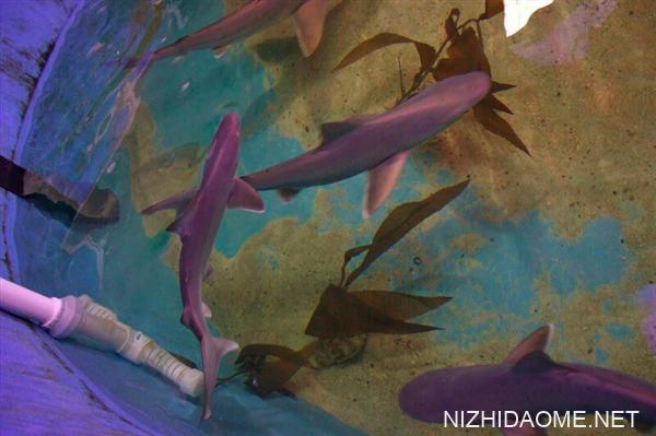 美国男子在游泳池养鲨鱼网上贩卖:被捕后判罚5000美元