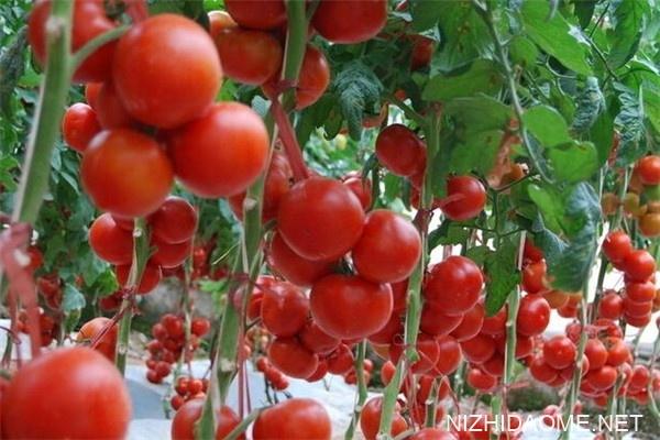 西红柿含糖吗 西红柿对血糖有什么影响