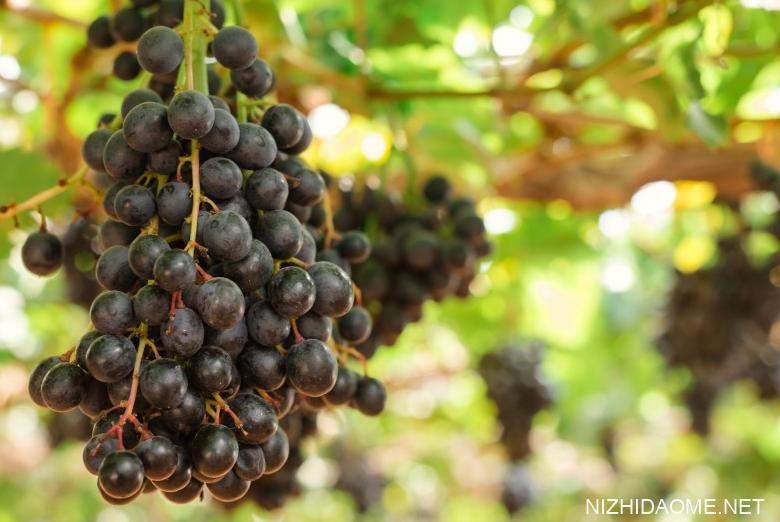 树葡萄苗多少钱一斤 树葡萄苗适合什么地方种植