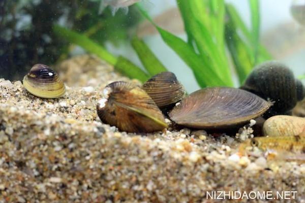 河蚌肉有寄生虫吗 河蚌肉可以生吃吗