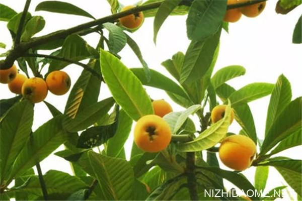 枇杷叶煮水可以加蜂蜜一起喝吗 枇杷叶和什么一起煮止咳效果最好