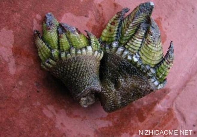 佛手螺多少钱一斤 佛手螺最多的产地是哪里