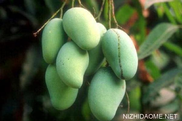 芒果好消化吗 肠胃不好能不能吃芒果