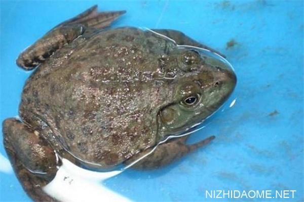 牛蛙什么季节吃最好 牛蛙怎么挑选