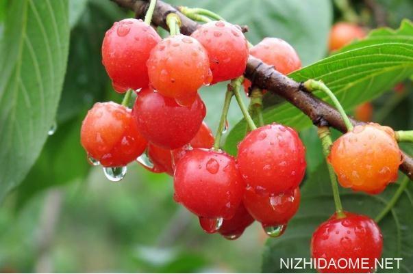 樱桃和车厘子的区别 樱桃和车厘子是一种水果吗
