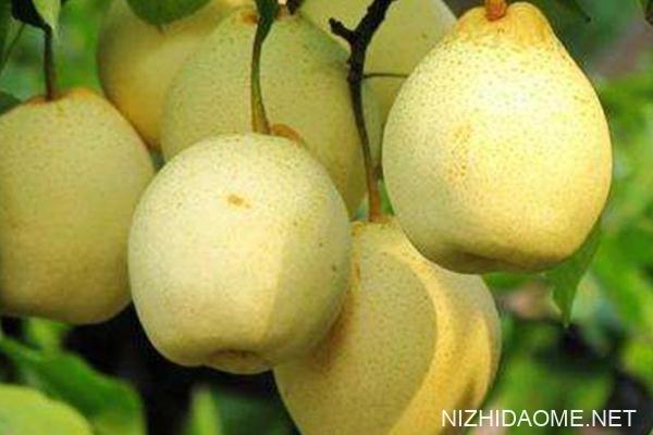 梨子孕妇能吃吗 孕妇吃梨的健康吃法