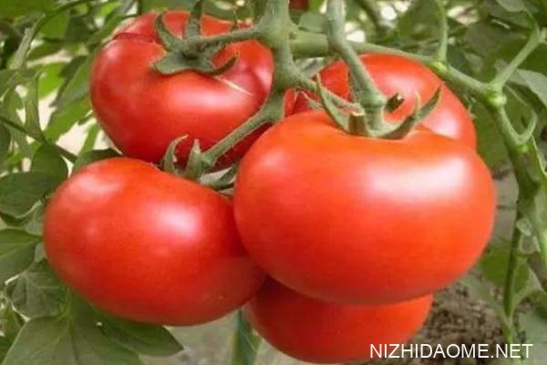 西红柿可以和菠菜一起吃吗 西红柿能和牛奶一起吃吗