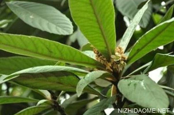 枇杷叶煮水的做法 枇杷叶煮水止咳用老叶还是嫩叶